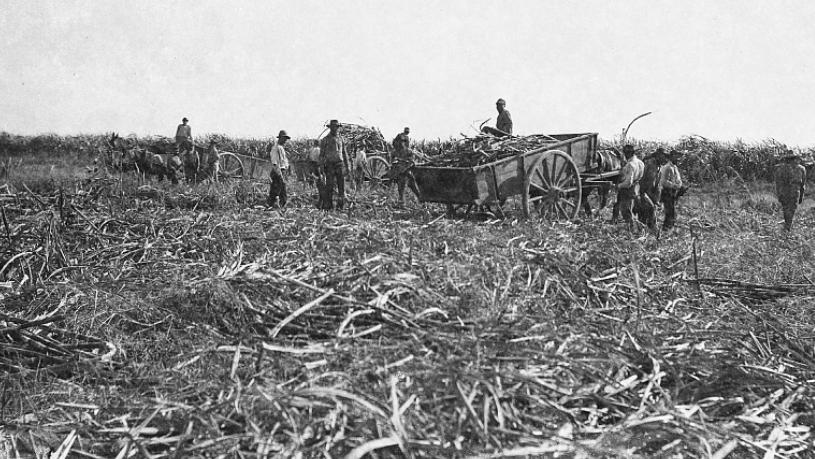 Workers cutting sugar cane, Louisiana